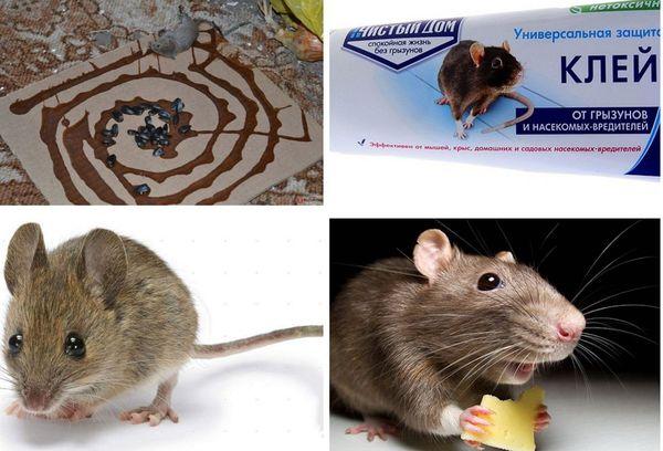Ловля мышей клеем